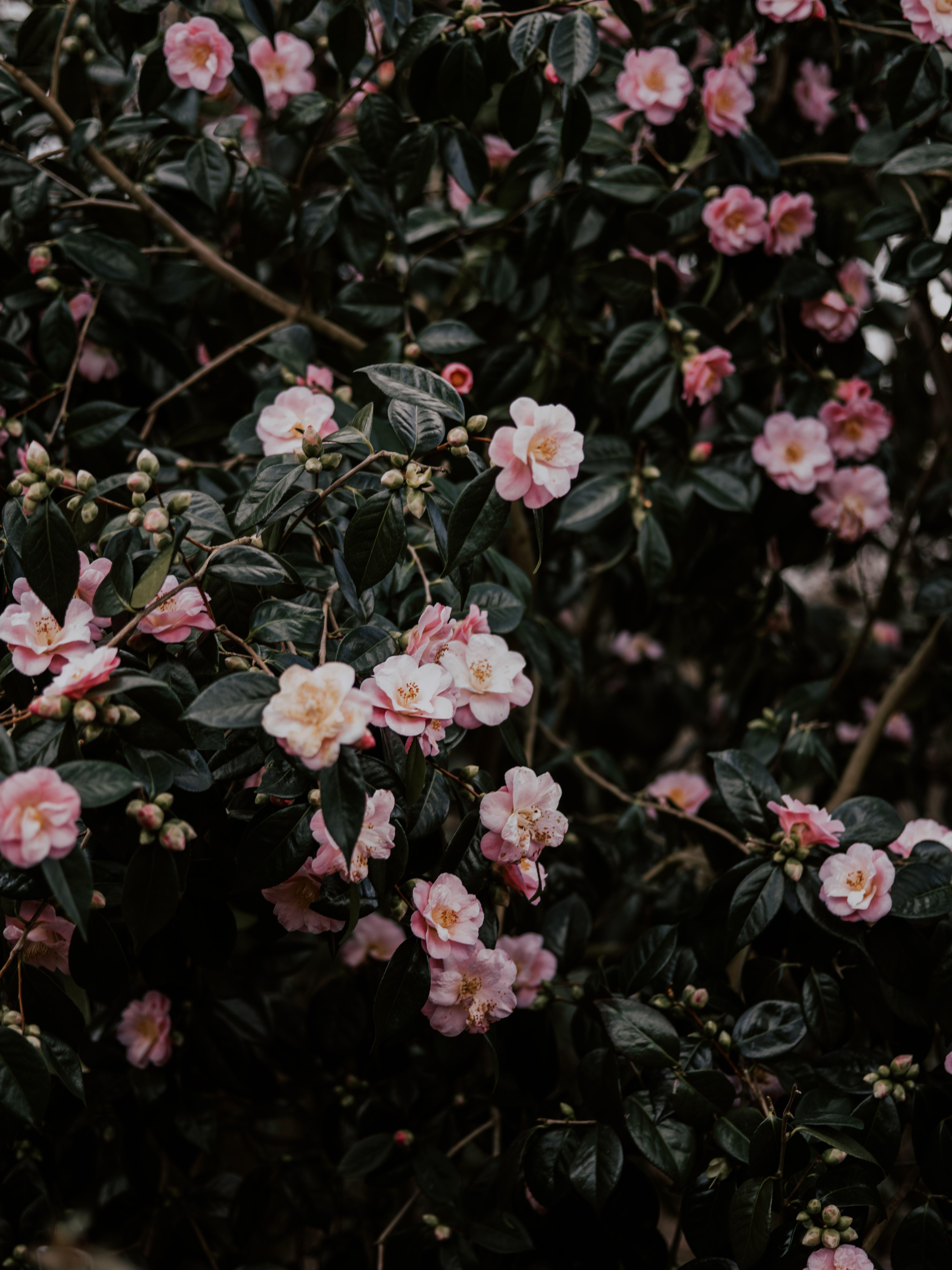 Wallpapers Rose Family Flower Japanese Camellia Petal Flowering Plant Planting Flowers Family Flowers Plant Wallpaper