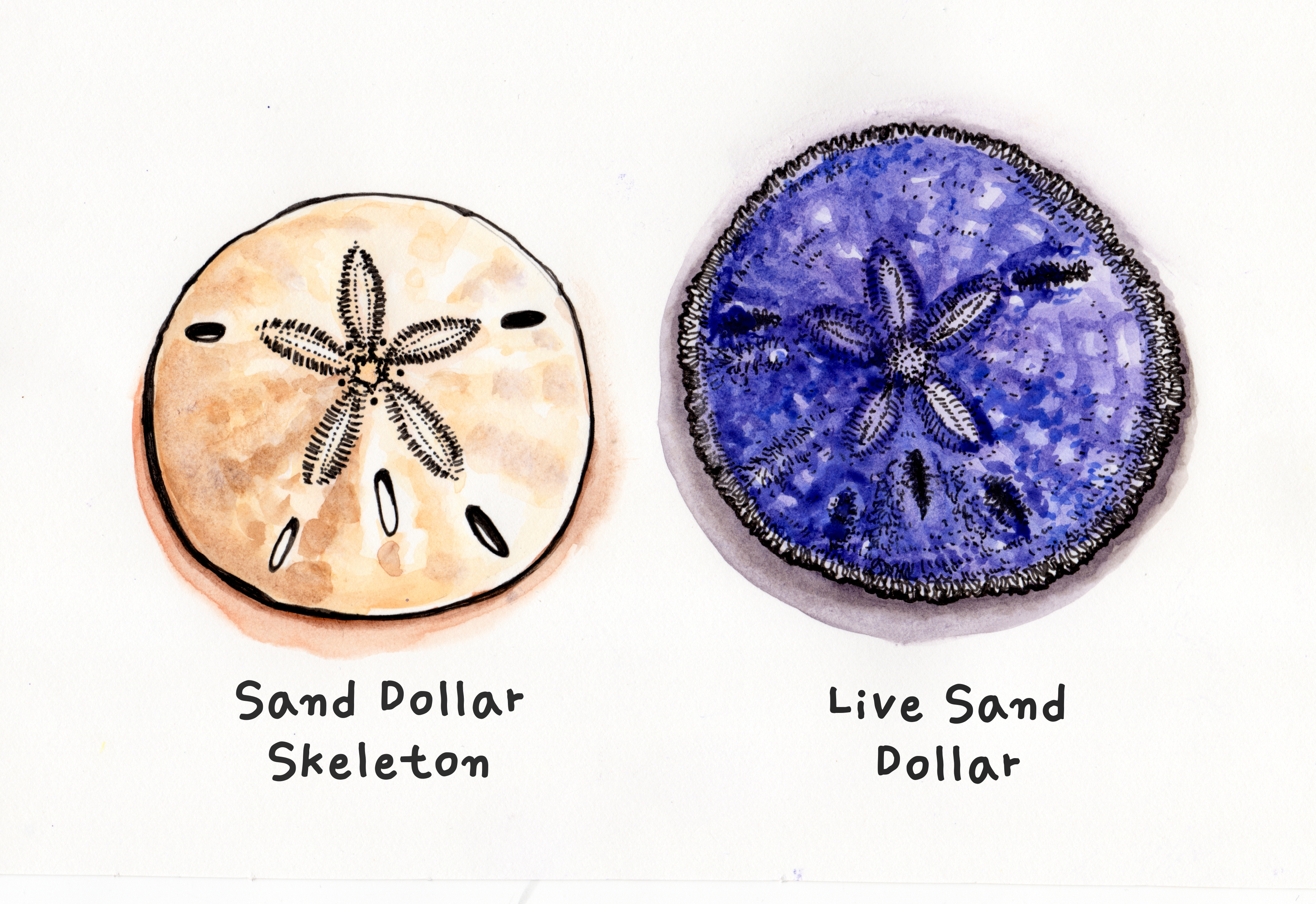 Live Sand Dollar Skeleton Png 3609 2479 Sand Dollar Sand Dollar