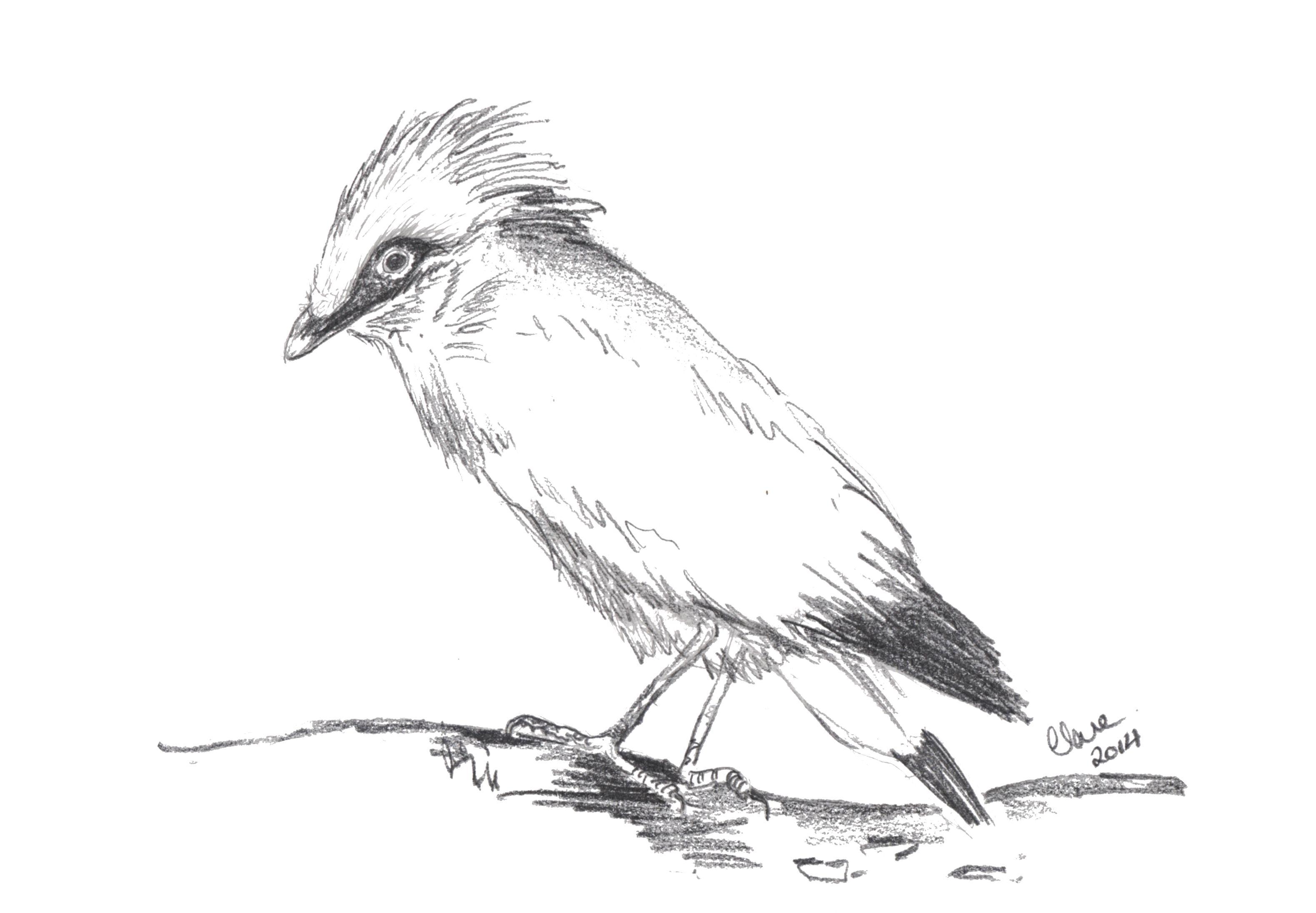 Star, the endangered White Starling