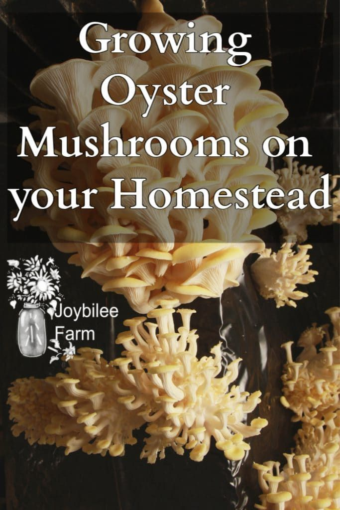 Growing Oyster Mushrooms on your Homestead is part of Stuffed mushrooms, Garden mushrooms, Organic gardening tips, Oysters, Growing mushrooms, Edible garden - Growing oyster mushrooms is easy and a little bit can make a perpetual harvest of hundreds of pounds
