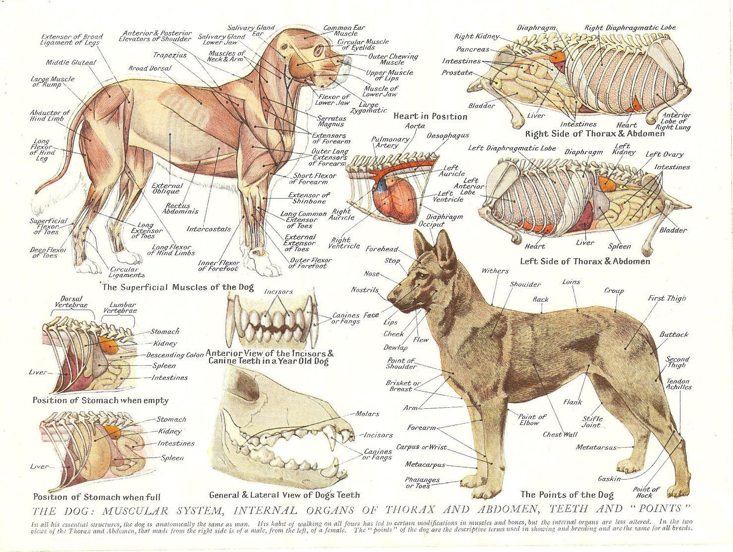 2.95 GBP - A4 Veterinary Poster Muscles & Organs Of The Dog (Animal ...