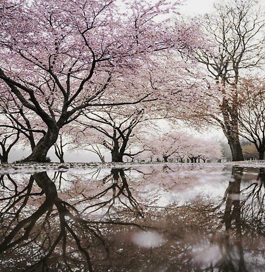 Cherry Blossoms Photographic Print By M J Designs Sakura Tree Blossom Trees Japanese Cherry Blossom