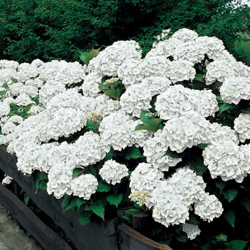 Sister Therese Hydrangea Zones 5 9 Light Full Sun To Partial Shade Height 3 5 Round And Bushy Bloo Plants Plants That Like Shade Hydrangea Macrophylla