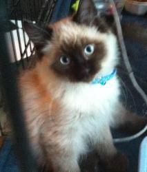 Adopt Harry On Petfinder Ragdoll Kitten Pet Finder Ragdoll Cat