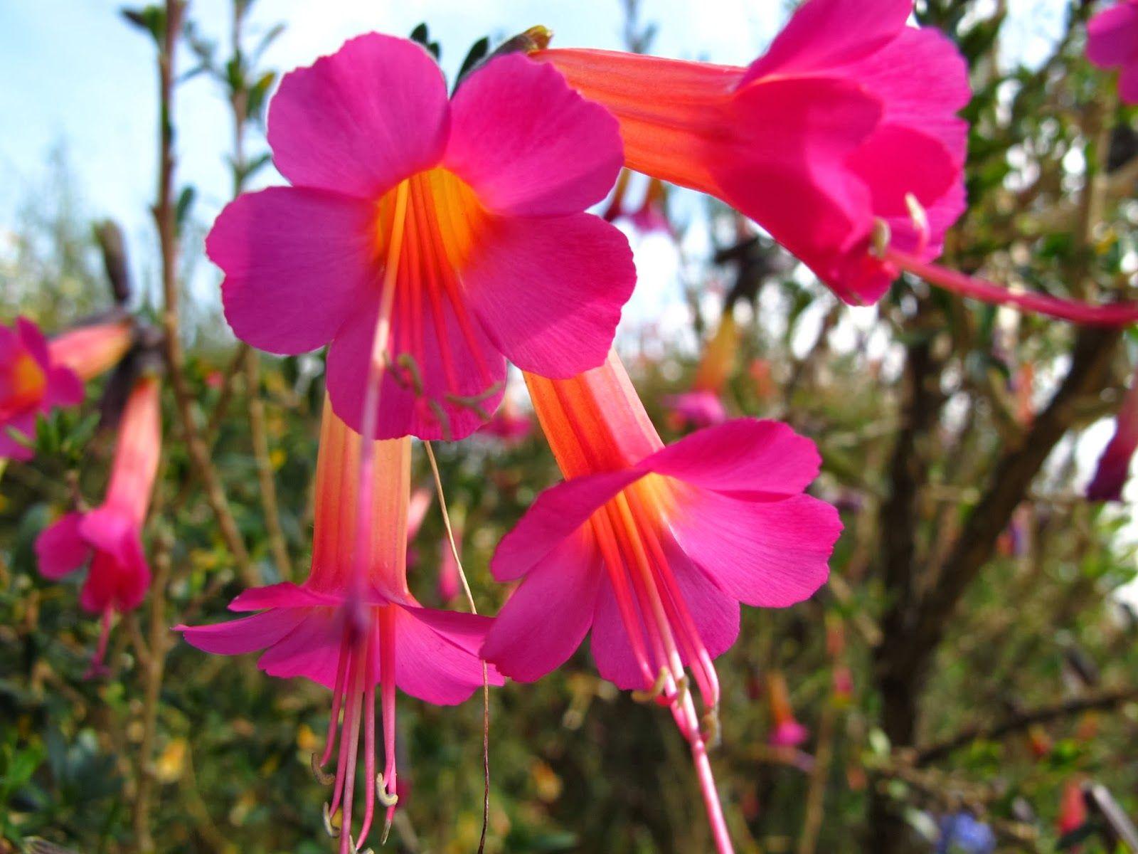 Boliva's nacional flor es la Kantuta. Flores, Flores de
