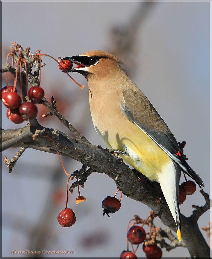 Oiseaux en Liberté - photographies d'oiseaux par Alain Hogue