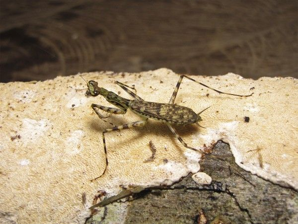 Recently 19 new species of bark mantids have been reported, tripling the number of identified species. It's nice to new that there are still lots of surprises yet to be discovered all around us.