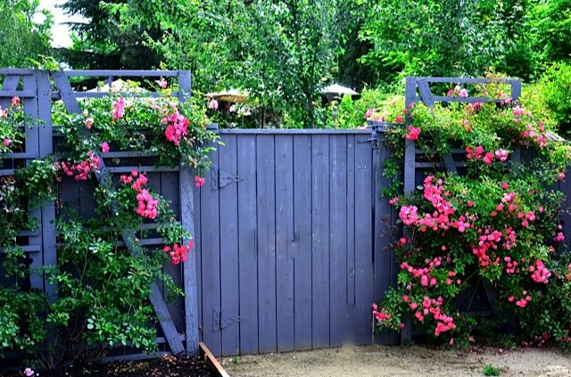 build your own trellis with free pallets for climbing roses