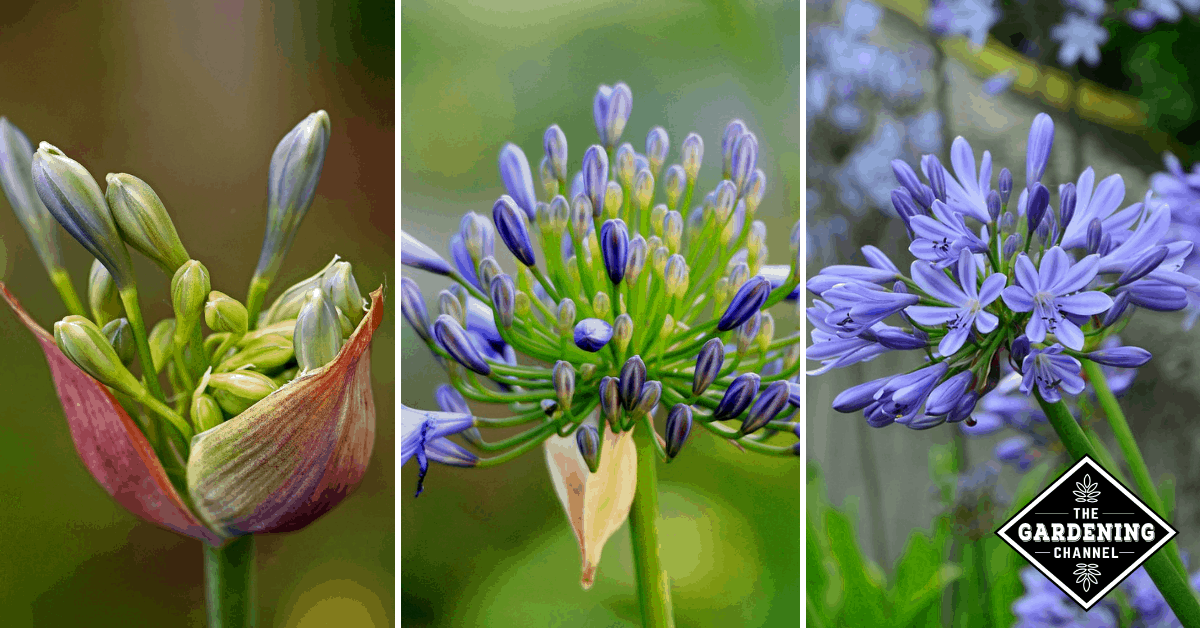 How To Grow Agapanthus Flowers African Lily Lily Of The Nile Star Of Bethlehem Gardening Channel In 2020 African Lily Agapanthus Star Of Bethlehem