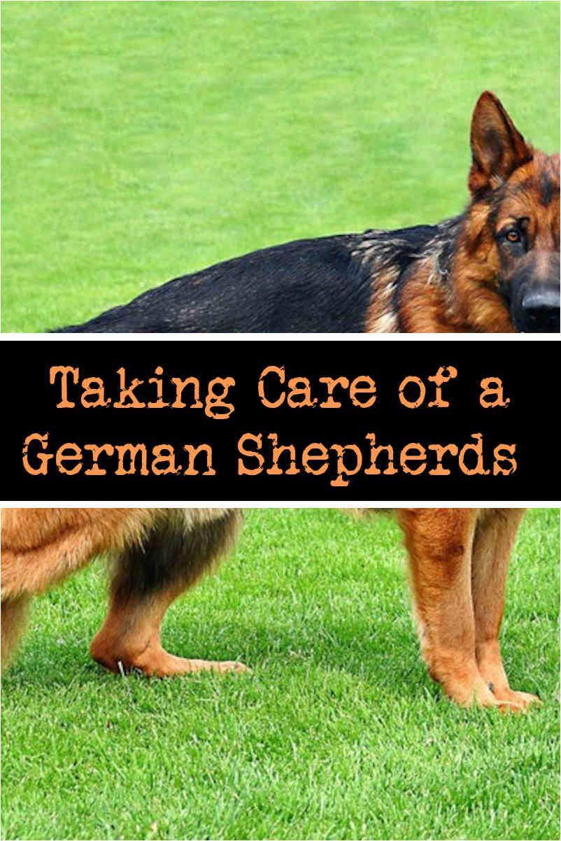 Training A German Shepherd To Obey Commands German Shepherd