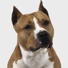 El American Staffordshire Terrier