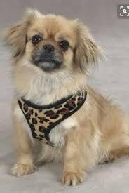 Image Result For Tibetan Spaniel Japanese Chin Mix Pekingese Dogs Spaniel Dog Spaniel Breeds