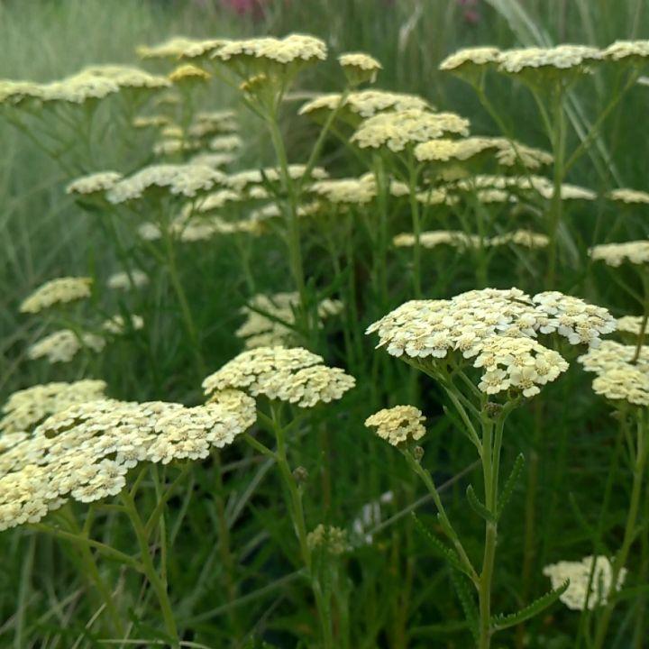 Thehappygardeninglife بحث في Instagram الصور ومقاطع الفيديو Plants Flowers Dandelion