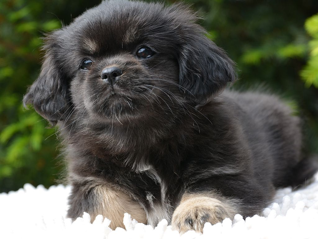 Tibetan Spaniel Spaniel puppies, Spaniel puppies for