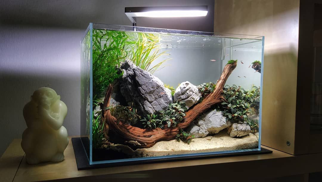 Rotala Hra Slowly Rising From The Right Side Aquascape Design Fish Tank Themes Tropical Fish Aquarium