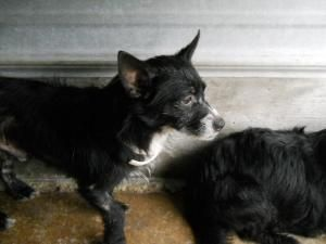 Bam Bam is an adoptable Cairn Terrier Dog in Chipley, FL. Bam Bam came in with Pebbles and is more outgoing. He is protective of her as she is very timid and scared. He is about 2-3 years old (owner c...