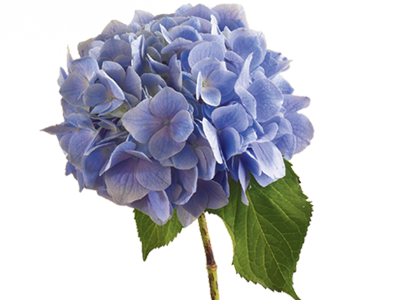 Hydrangea Flower Meaning Symbolism Flower Meanings Botanical Flowers Flowers