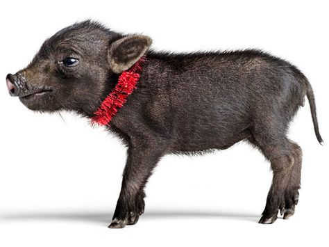 4 Cool Pets That Are Easy To Own Cool Pets Animals Teacup Pigs