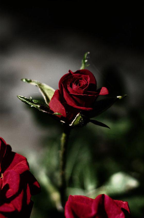Bella Rosa Morada Rosas Flores Significado De La Rosa