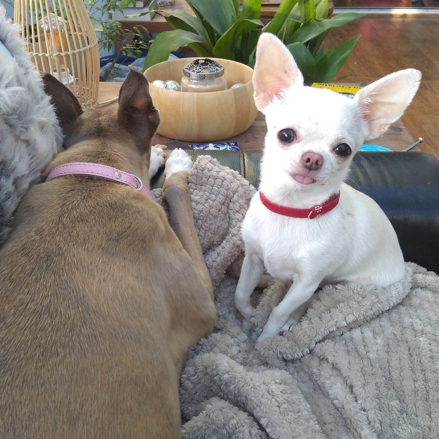 Bertie The Snow White Chihuahua Next To Mary The Fawn Whippet