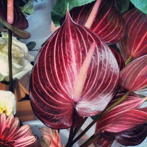 Anthurium Anthurium Plant Anthurium Flower Anthurium
