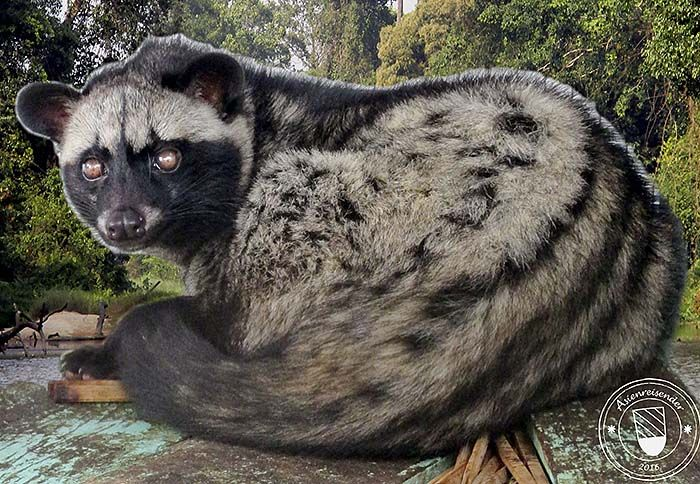 'Large Indian Civet Cat' by Asienreisender Animals, Cats