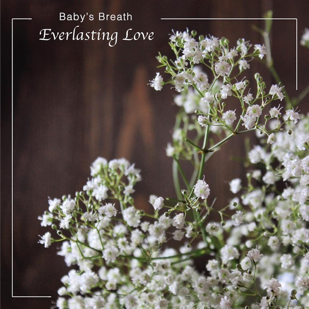 Holly Furman On Instagram Baby S Breath Gypsophila Everlasting Love Innocence Pureness Meaningofflowers Flo Flower Meanings Babys Breath Gypsophila