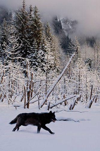 Running black wolf!