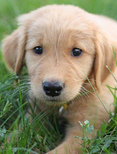 Murphy The Golden Retriever Golden Retriever Retriever Puppies