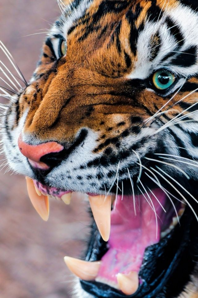 Snarling Tiger Mobile Wallpaper Wild Cats Big Cats Animals Wild