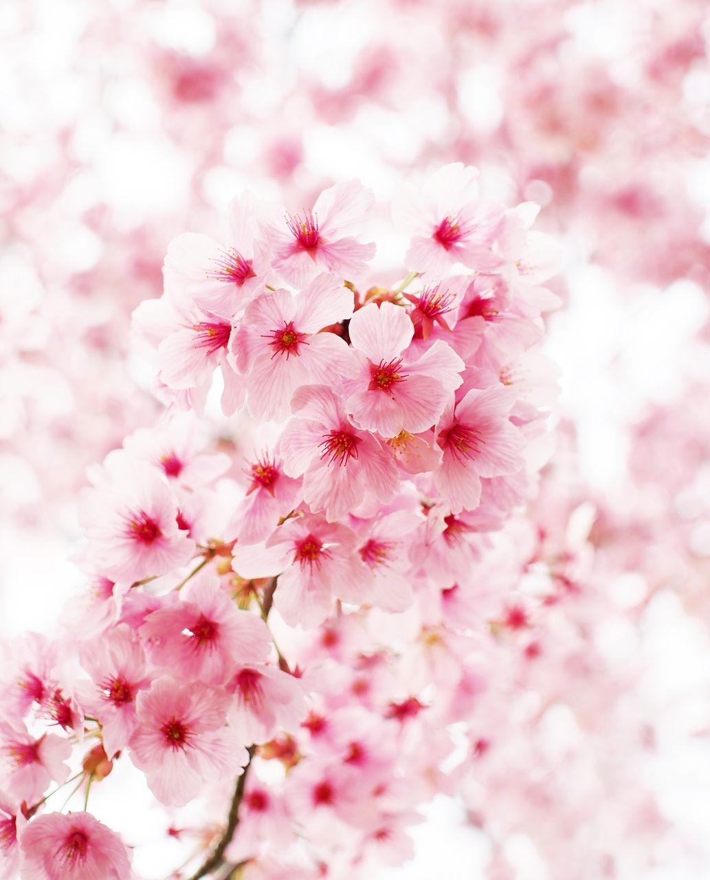 Cherry Blossom Pemandangan