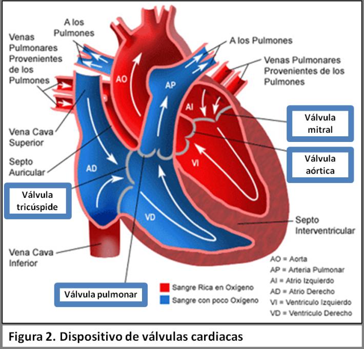 Cardiovascular. Cavidades, flujo y tipo de sangre. | Pedro Urbina G ...