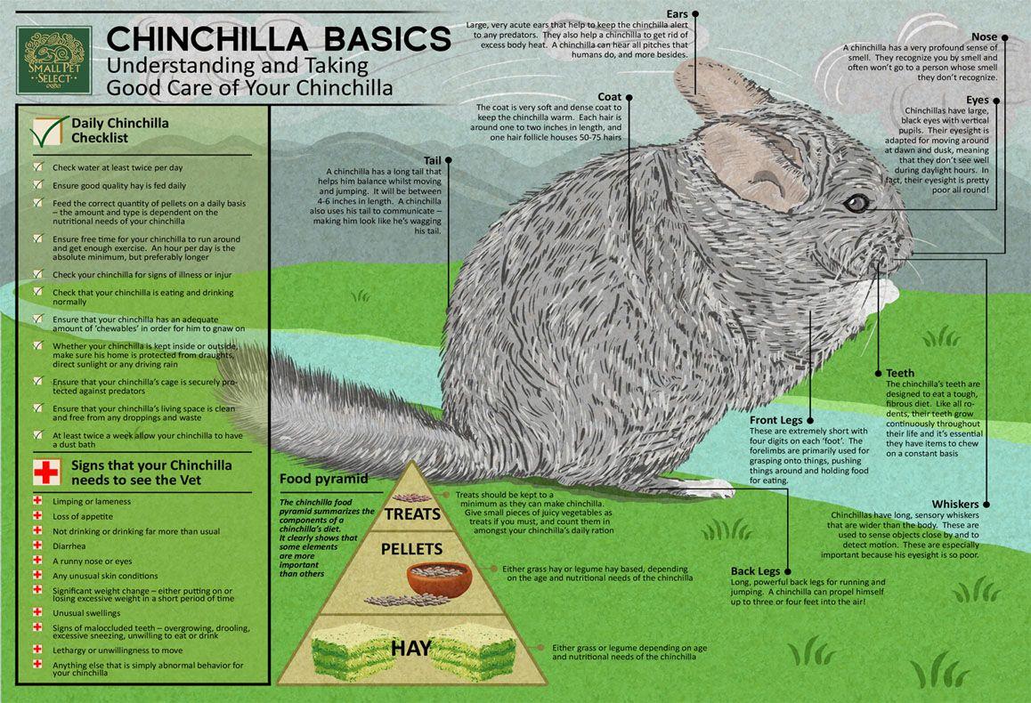 Chinchilla Basics Small Pet Select With Images Chinchilla