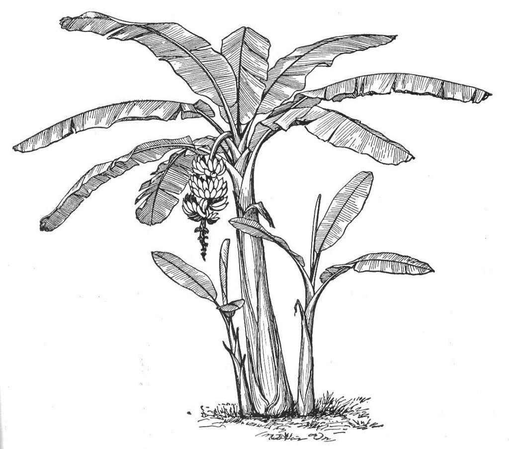 How To Draw A Banana Tree Banana Tree Fresh Green Grass
