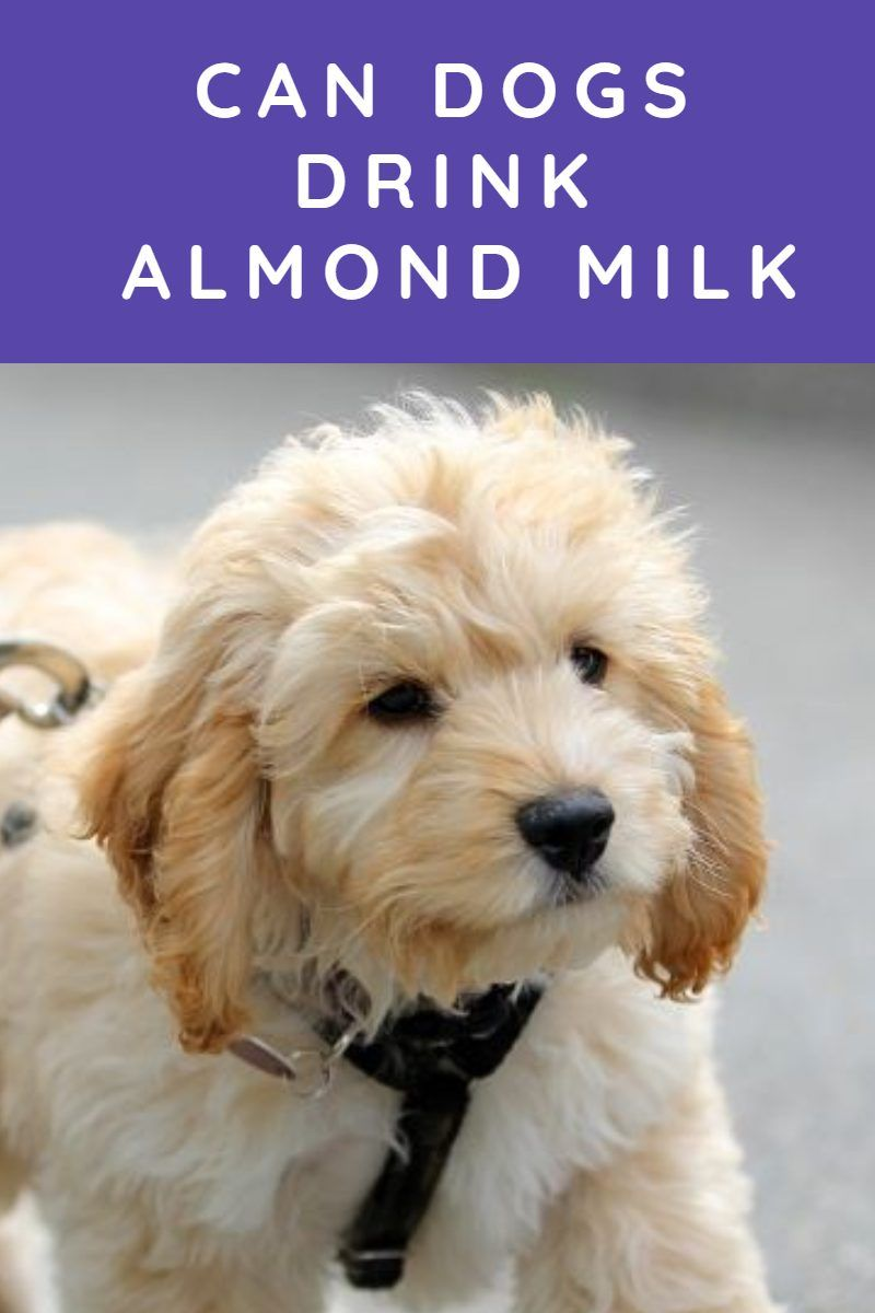 Can Dogs Drink Almond Milk Labradoodle Home In 2020 Labradoodle Facts Dogs Dog Care 101