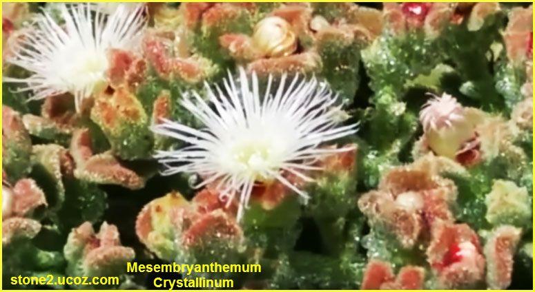 انواع نبات السبيب او الغاسول Mesembryanthemum قائمة الخضار النبات معلومان عامه معلوماتية Plants