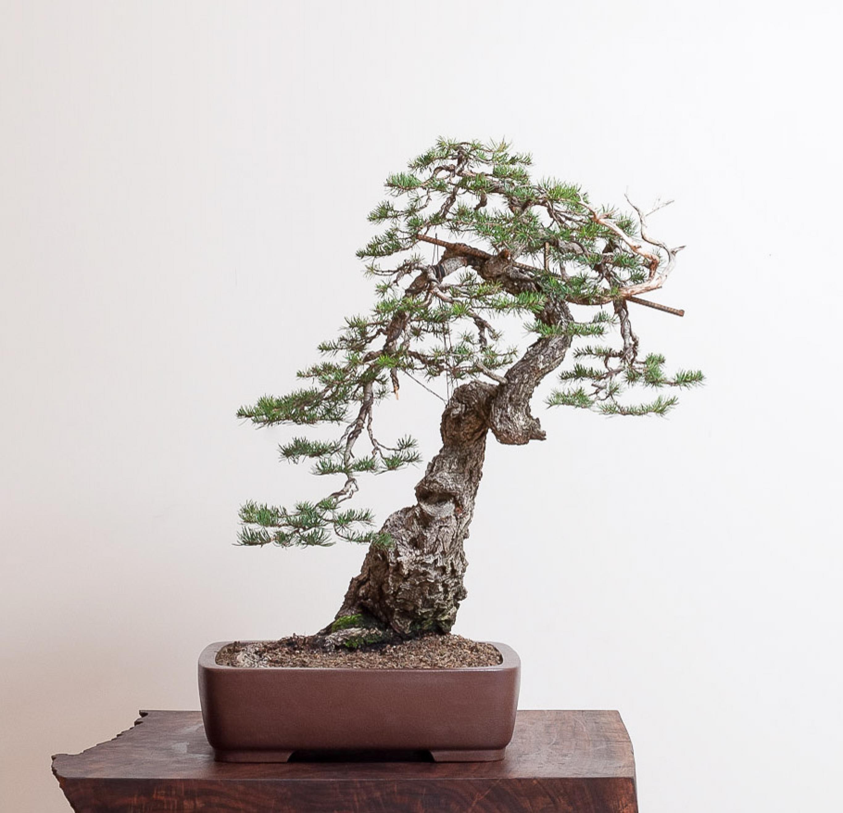 Douglas Fir No 9 Bonsai Tree Types Bonsai Bonsai Plants