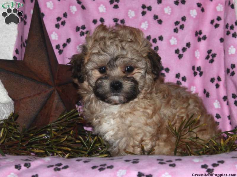 Candy, Shichon for sale from Rising Sun, MD