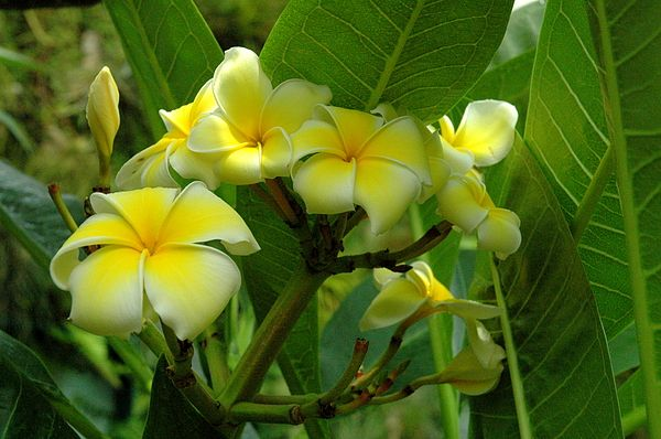 Yellow Plumeria By Linda Covino Plumeria Plumeria Flowers Types Of Flowers