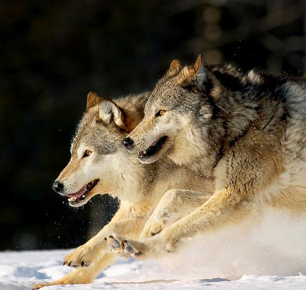 Pack Of Grey Wolves Running Through Deep Snow | Animals ...