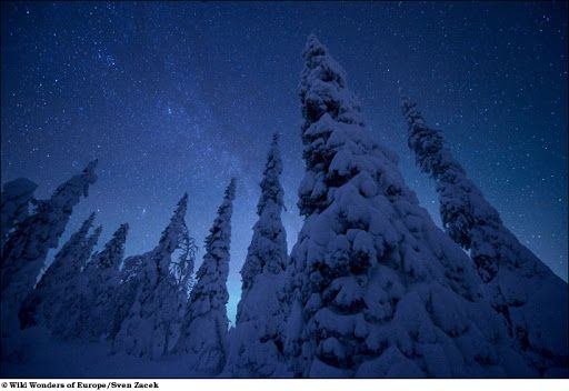 A cold clear night with snow laden trees.