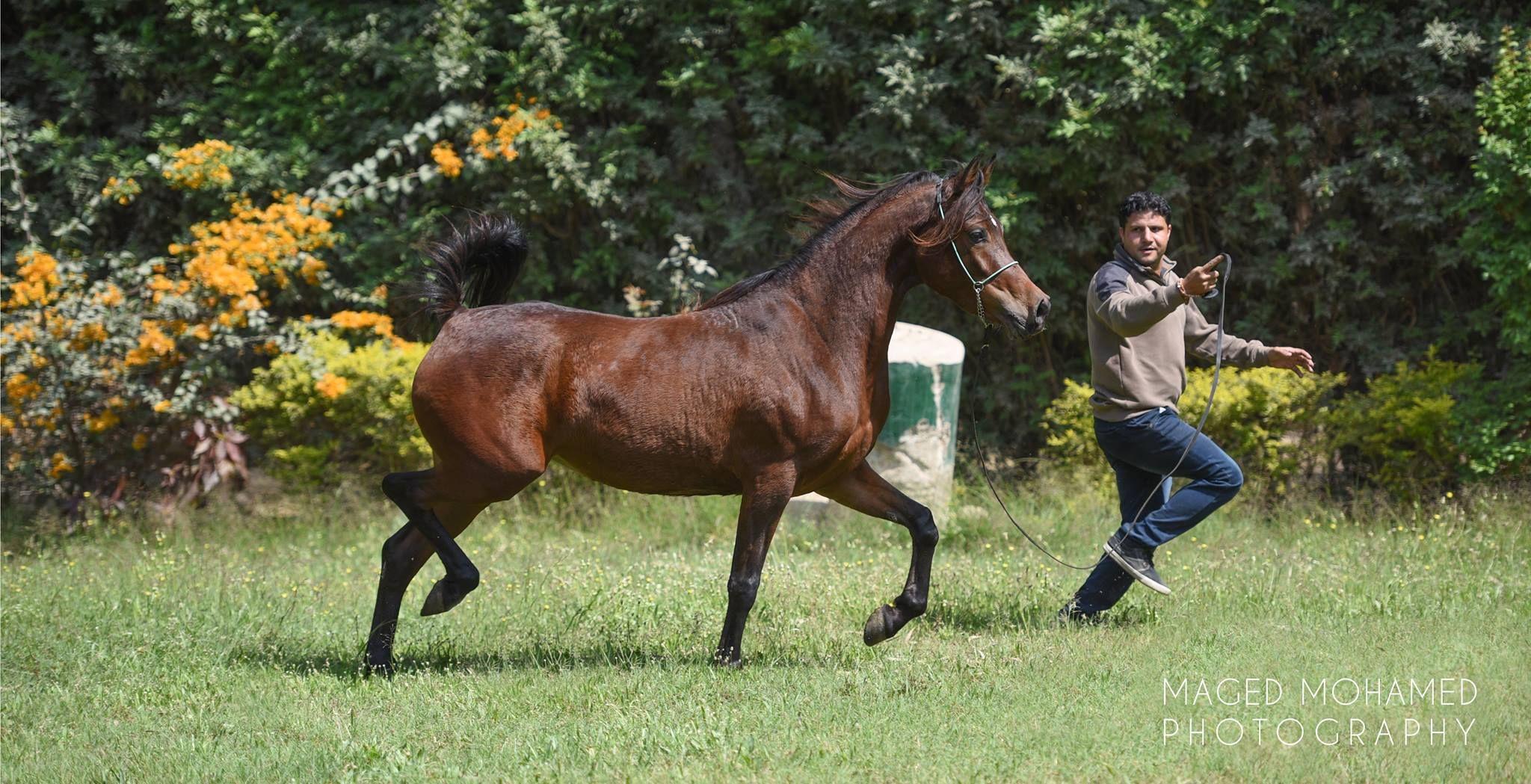 Wada Ah Omayerah X Defaf Date Of Birth Jan 25 2015 Dahman وداعة ضفاف عميرة تاريخ الميلاد 25 يناير 2015 دهمان Horses Animals April 11