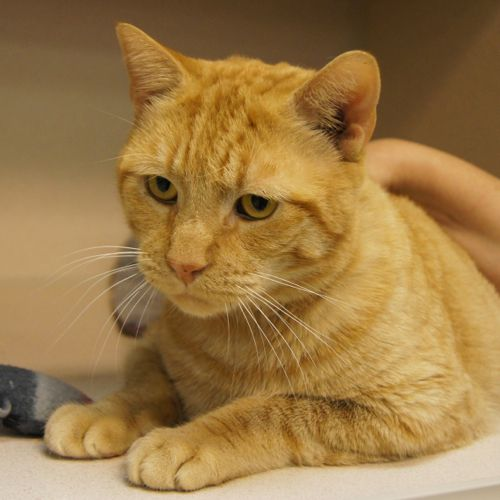 Adopted Ginger Is An 8 Year Old Male Orange Tabby Domestic Short Hair Ginger Named For The Color Of His Fur And His His Imp Lucky Dogs Orange Tabby Tabby