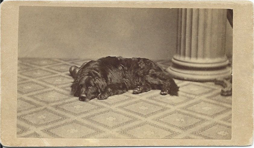 1864 cdv of large black dog lying in photographer's studio. Photo by A.H. Locke, 16 Main St., Plymouth, Mass. On verso: green 3-cent green tax stamp. Also, written in pencil: Buried in (name not legible) garden. Apr. 28, 1869 — 14 years old. From bendale collection