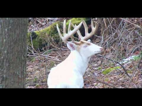 Rare Piebald Calico Whitetail Deer Herd Youtube Whitetail Deer Pictures Rare Albino Animals Albino Deer