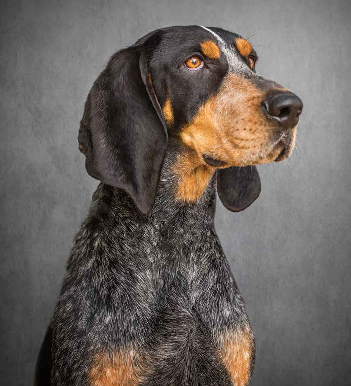 Smokey X the current one! Bluetick coonhound
