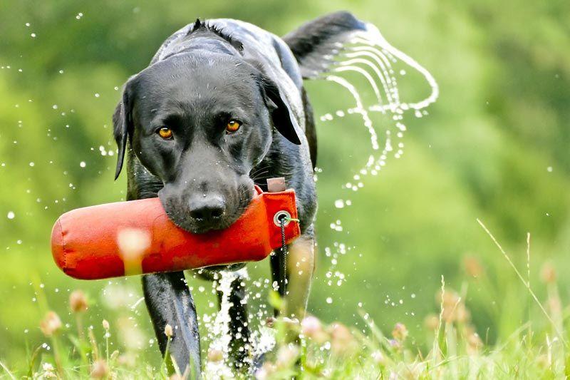 Charakter Wesen Der Labrador Retriever Hunde Labrador