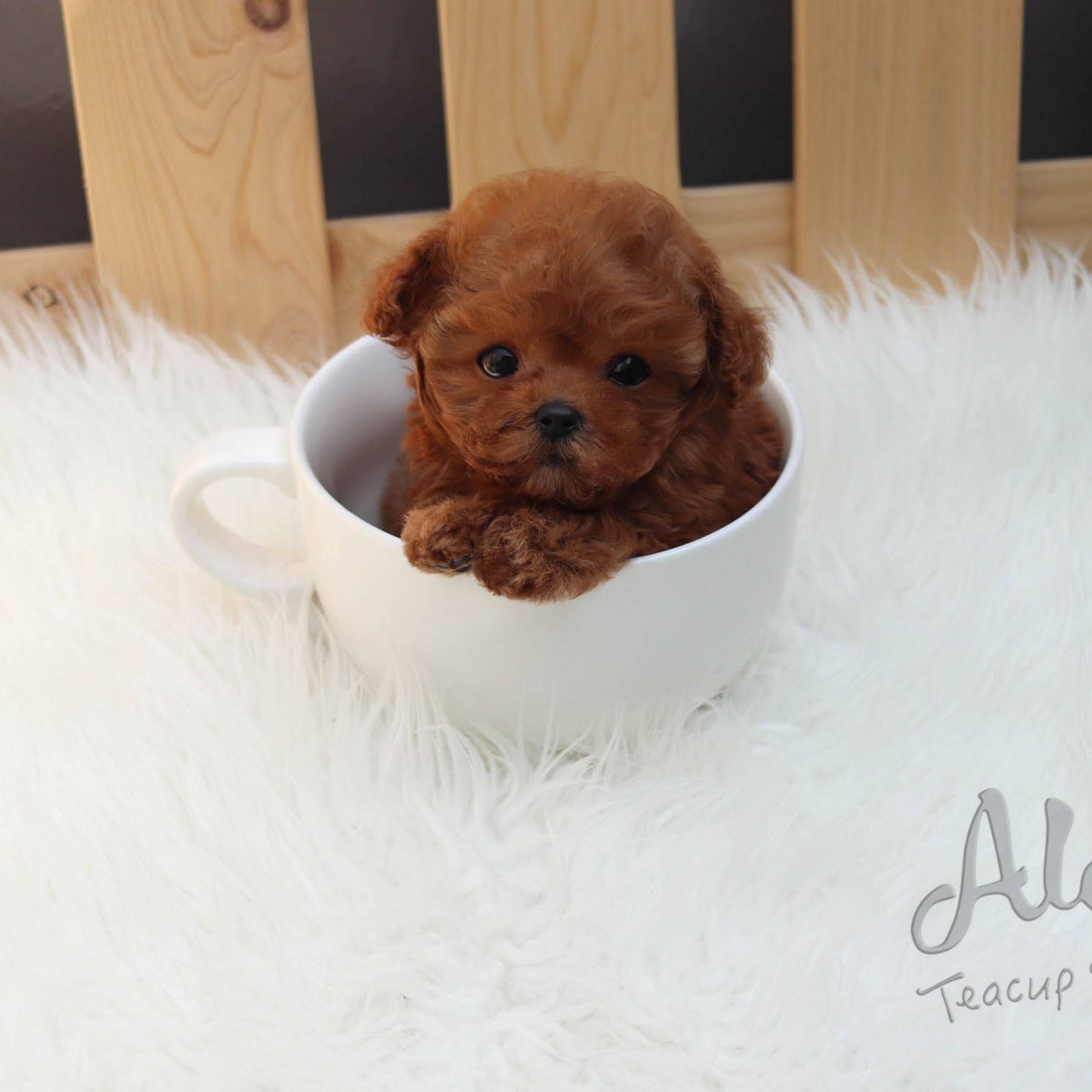 Cuteteacuppuppies In 2020 Teacup Puppies Teacup Puppies For Sale Teacup Poodle Puppies