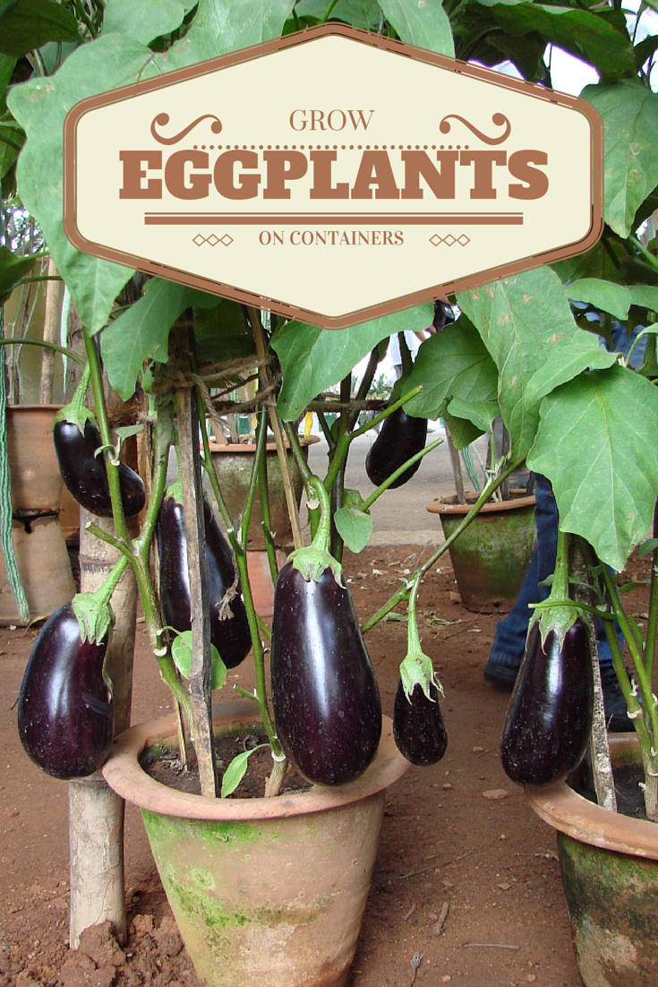 Vegetable Gardening Did You Know That You Can Grow Eggplants On Pots Yes You Can Just Fill A Pot Square Foot Gardening Raised Garden Beds Vegetable Garden