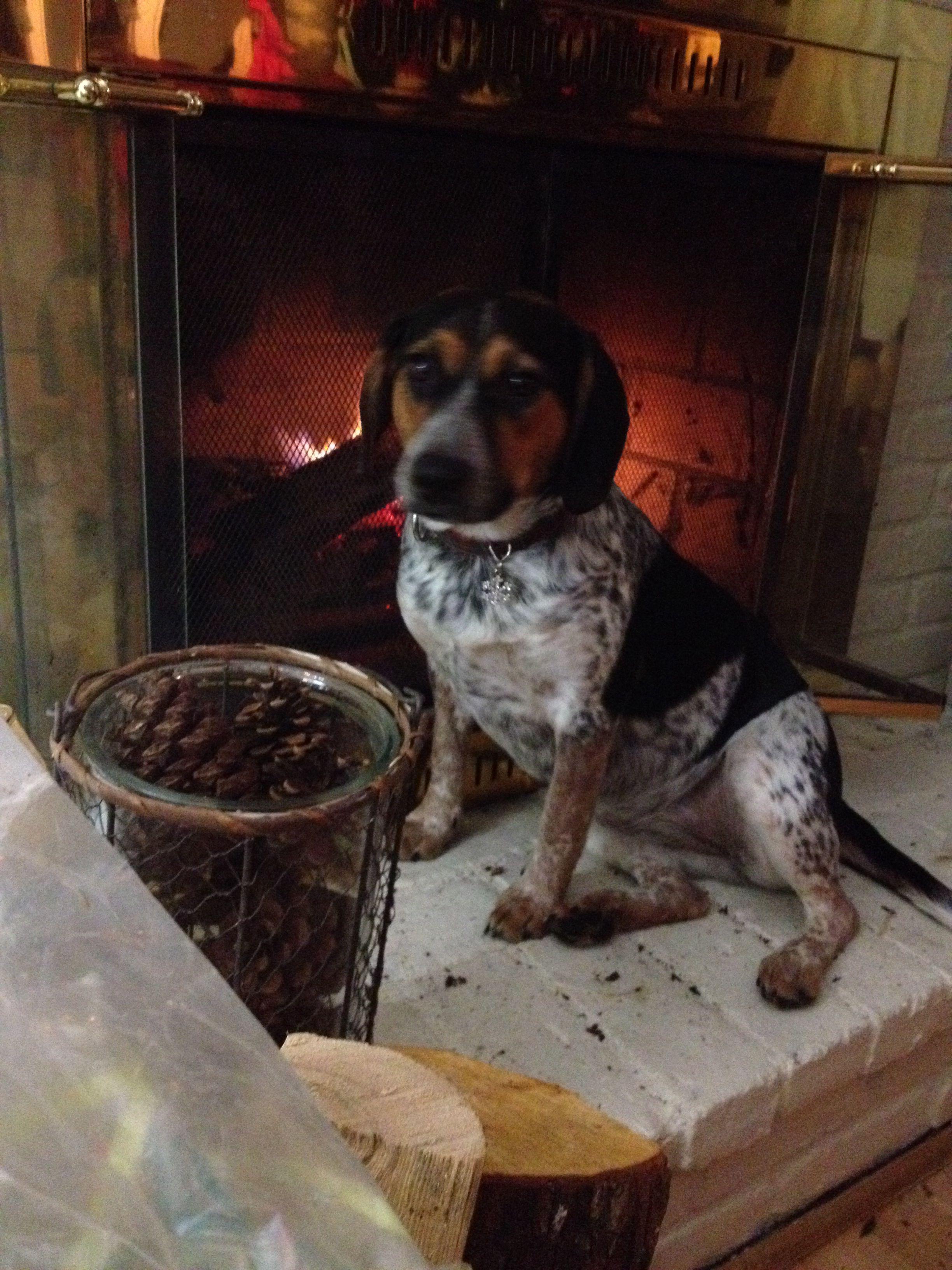 Blue Heeler Beagle Mix Beagle Mix Dog Friends Mixed Breed Dogs